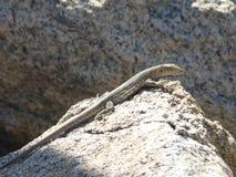 Medium lizard with blue spots desert stock images