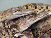 Reptiles orgy?. Baby crocodiles in tank at a crocodile farm enjoying each others company Stock Photography