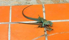 Reptiles que se acoplan en el Caribe Imagen de archivo