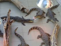 Reptiles.  Reptiles in zoo. crocodile, alligator. Stock Photo