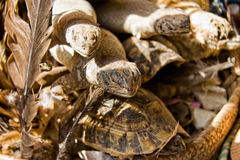 Reptiles for sell. Dried reptiles selling as medicine at Marrakesh souk, Morocco Royalty Free Stock Image