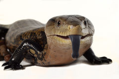Reptiles sticking out her tongue. Stock Images