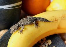 Reptiles sur la nourriture - gecko de fasciata de Teratolepis sur la banane images libres de droits