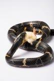 Reptiles sur le fond blanc Photos stock