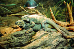 Reptiles in a terrarium. Resting Royalty Free Stock Photo