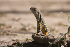 Reptiles from Thailand. Kho Adang Royalty Free Stock Images