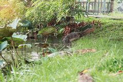 Reptiles are walking up from the pond. Reptiles are walking up from the pond in park Royalty Free Stock Images