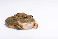 Reptiles on white background Royalty Free Stock Image