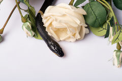 Reptiles on white background. Black striped mangrove snake  with smooth skin near  beautiful  bunch of white roses    isolated on white background   with copy Stock Photo