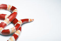 Reptiles on white background Royalty Free Stock Photography