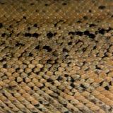 reptilhud arkivbilder