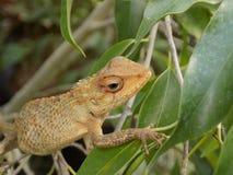 Reptilia Photo libre de droits