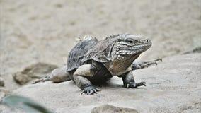 reptilian ящерицы плена большой очень видеоматериал