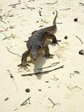 reptilian ящерицы плена большой очень Стоковое Изображение