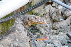 reptilian ящерицы плена большой очень Стоковая Фотография