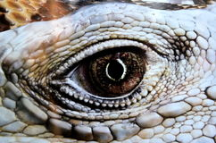 Reptilian Eye Royalty Free Stock Images