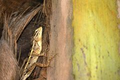 Reptilien von Sri Lanka lizenzfreies stockfoto