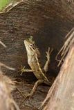 Reptilien von Sri Lanka stockbilder