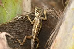 Reptilien von Sri Lanka lizenzfreie stockbilder