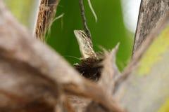 Reptilien von Sri Lanka lizenzfreie stockfotos