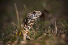 Reptilien von Thailand Stockbild