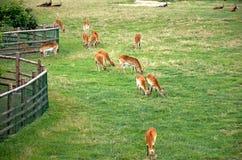 Repubblica ceca praga Zoo di Praga antilope 12 giugno 2016 Immagine Stock Libera da Diritti
