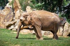Repubblica ceca praga Zoo di Praga Elefante 12 giugno 2016 Fotografia Stock