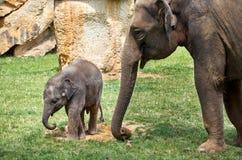 Repubblica ceca praga Zoo di Praga Piccolo elefante del bambino 12 giugno 2016 Fotografia Stock Libera da Diritti