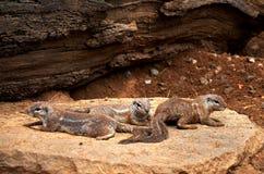 Repubblica ceca praga Zoo di Praga Scoiattolo a terra 12 giugno 2016 Fotografie Stock Libere da Diritti