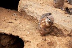 Repubblica ceca praga Zoo di Praga Scoiattolo a terra 12 giugno 2016 Fotografie Stock