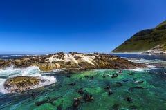 Duiker Island, South Africa. Republic of South Africa. Duiker Island Seal Island near Hout Bay Cape Peninsula, Cape Town. Cape fur seal colony Arctocephalus Stock Image