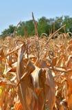republika czeska kukurydzana w terenie Obraz Royalty Free