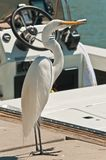 Request to come on boart. Front view of a common egret, appearing to be asking request to come on boat a power boat, at a tropical marina, tied up at a dock royalty free stock photography