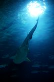 Requin Photos stock