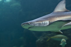 Requin Photographie stock libre de droits