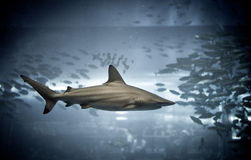 Requin image stock