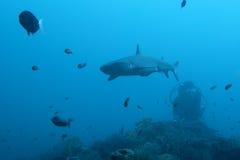 Requin blanc d'astuce Image libre de droits