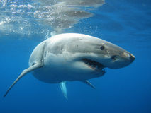 Requin blanc grand Photographie stock