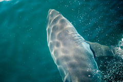 Requin blanc grand images libres de droits