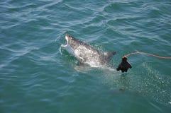 Requin blanc grand Photographie stock libre de droits
