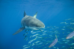 Requin blanc grand Image libre de droits