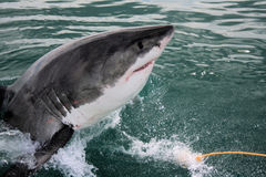 Requin blanc grand - Carcharias de Carcharodon Images stock