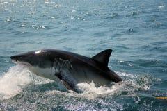 Requin blanc grand - Carcharias de Carcharodon Photographie stock libre de droits