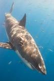 Requin blessé Photographie stock libre de droits