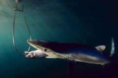 Requin bleu Photo libre de droits