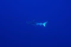 Requin bleu (glauca de Prionace) photos libres de droits