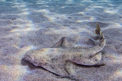 Requin d'ange Photo stock