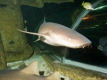 Requin d'infirmière images libres de droits