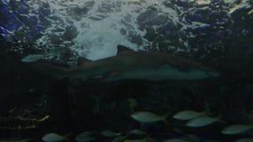 Requin dans l'aquarium banque de vidéos