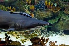 Requin dans l'aquarium Images libres de droits